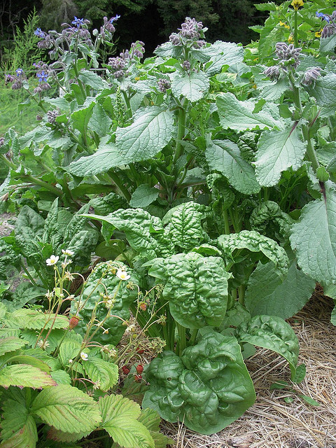 Spinach and Borage